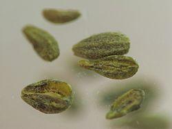 anise-seeds-250x250
